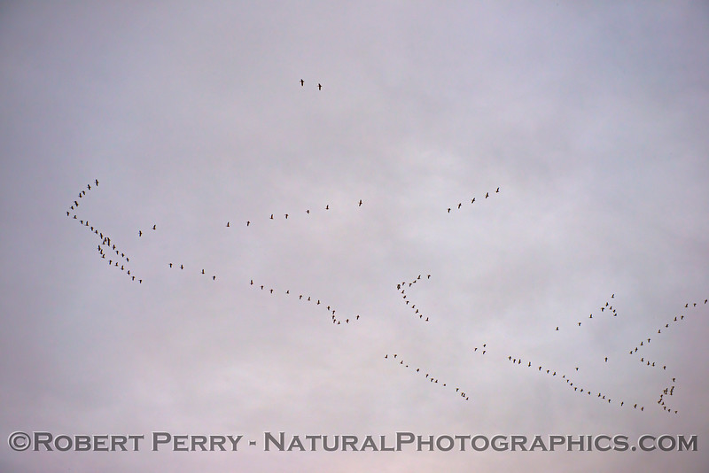 geese formations looking up Sunset 2020 12-09 Sac NWR-wide-003