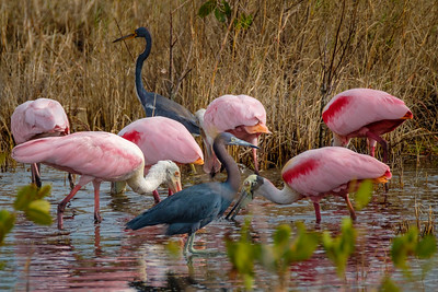 Tricolored Herons and Roseate Spoonbills