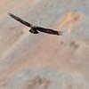Denali National Park Golden Eagle