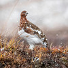 Denali National Park Willow Ptarmigan