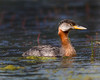 "This photograph of a Red-necked Grebe  was captured along the Seward Highway in Alaska (8/15). <font color=""RED""><h5>This photograph is protected by International and U.S. Copyright Laws and shall not to be downloaded or reproduced by any means without the formal written permission of Ken Conger Photography.<font color=""RED""></font></h5></font>"