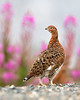 """This photograph of a Willow Ptarmigan  was captured in Lake Clark National Park, Alaska (8/15). <font color=""""RED""""><h5>This photograph is protected by International and U.S. Copyright Laws and shall not to be downloaded or reproduced by any means without the formal written permission of Ken Conger Photography.<font color=""""RED""""></font></h5></font>"""