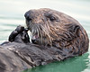 """This photograph of a Sea Otter was captured in Lake Clark National Park, Alaska (8/15). <font color=""""RED""""><h5>This photograph is protected by International and U.S. Copyright Laws and shall not to be downloaded or reproduced by any means without the formal written permission of Ken Conger Photography.<font color=""""RED""""></font></h5></font>"""