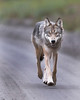 "This photograph of a Wolf  was captured in Denali National Park, Alaska (8/15). <font color=""RED""><h5>This photograph is protected by International and U.S. Copyright Laws and shall not to be downloaded or reproduced by any means without the formal written permission of Ken Conger Photography.<font color=""RED""></font></h5></font>"