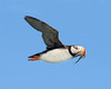 """This photograph of a Horned Puffin was captured in Lake Clark National Park, Alaska (8/15). <font color=""""RED""""><h5>This photograph is protected by International and U.S. Copyright Laws and shall not to be downloaded or reproduced by any means without the formal written permission of Ken Conger Photography.<font color=""""RED""""></font></h5></font>"""