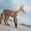 Lake Clark National Park Red Fox