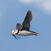 Lake Clark Bird Island Horned Puffin