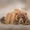 Lake Clark National Park Brown Bear