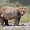 Katmai National Park Brown Bear