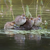 Tern Lake Greater Scaup Chicks