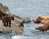 Katmai National Park Brown Bear sow returning with salmon for cubs