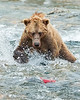 Katmai National Park Brown Bear catching red salmon