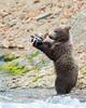 Katmai National Park Brown Bear Cub