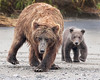 Lake Clark Brown Bear Sow and Cub