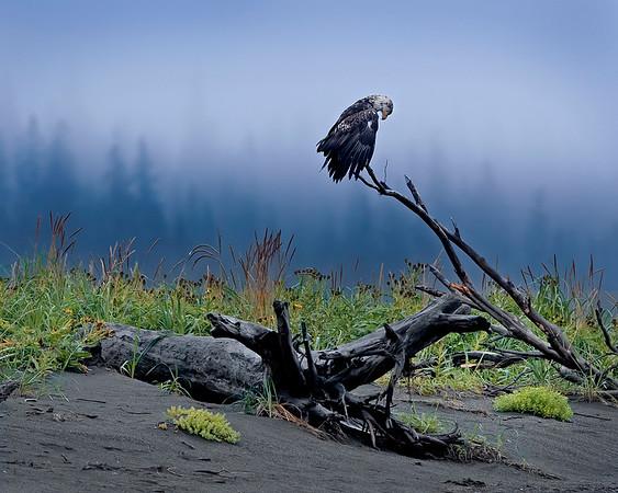 Lake Clark National Park Bald Eagle