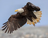Anchor Point Bald Eagle
