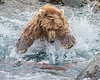 Katmai National Park Brown Bear attempting to catch red salmon