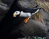 Lake Clark National Park Horned Puffin