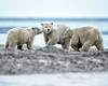 Polar Bears within Arctic National Wildlife Refuge, Alaska