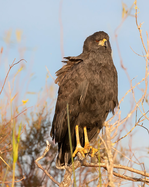 Ibera' Wetlands Great Black Hawk