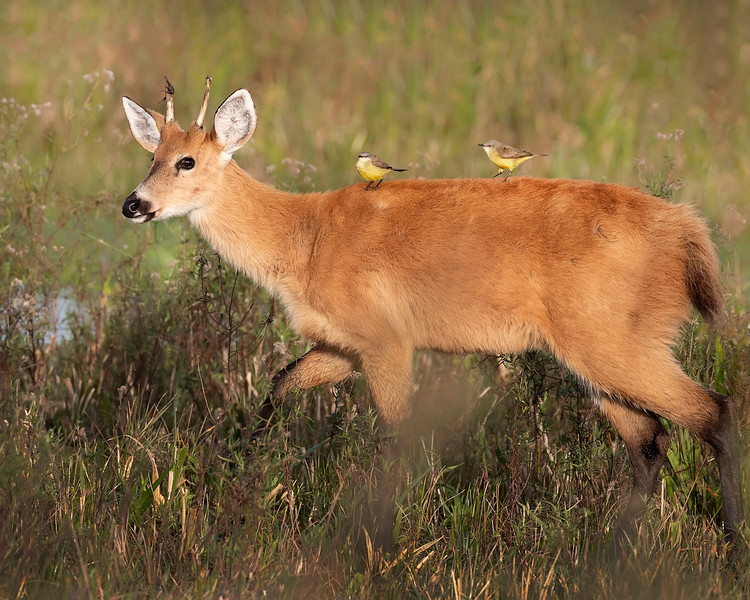 Ibera' Wetlands Marsh Deer