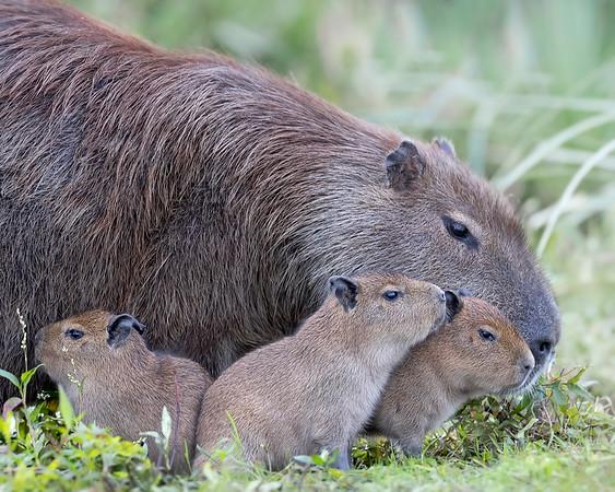 Ibera' Wetlands Cabybara Family