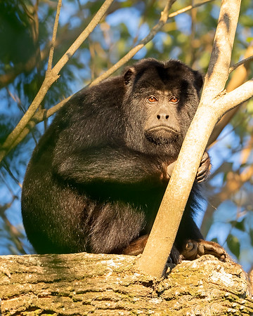Ibera' Wetlands Black Howler Monkey