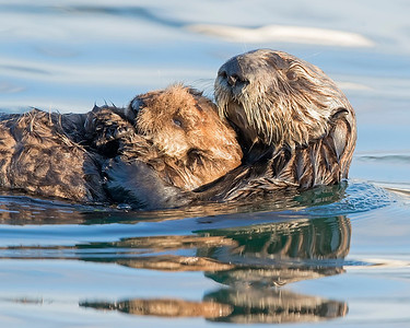 Sea Otter and pup in Monterey, Califormia