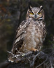 """This photograph of a Magellanic Horned Owl was photographed in Tierra del Fuego portion of Patagonia, Chile (4/15). <FONT COLOR=""""RED""""><h5>This photograph is protected by International and U.S. Copyright Laws and shall not to be downloaded or reproduced by any means without the formal written permission of Ken Conger Photography.<FONT COLOR=""""RED""""></h5>"""