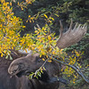 Denali National Park Bull Moose