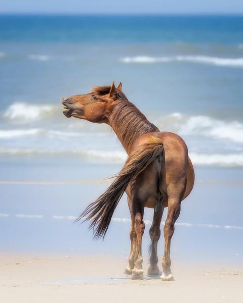 Outer Banks Corolla Wild Horse