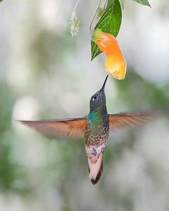 Chestnut-breasted Coronet Hummingbird from Ecuador