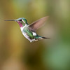 White-bellied Woodstar Hummingbird from Ecuador