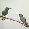 Glowing Puffleg Hummingbirds from Ecuador