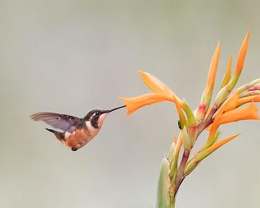 White-bellied Woodstar Hummingbird from Ecuador