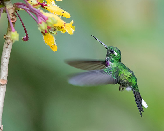 Purple-bibbed Whitetip Hummingbird from Ecuador