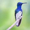 White-necked Jacobin Hummingbird from Ecuador