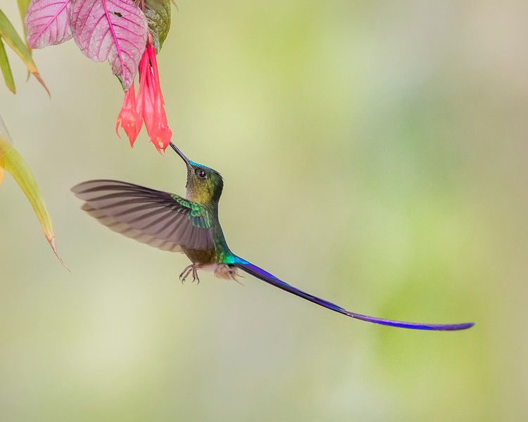 Violet-tailed Sylph Hummingbird from Ecuador