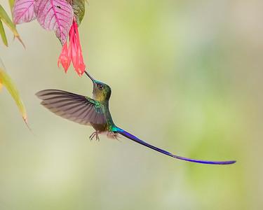 Violet-tailed Sylph Hummingbird from Ecuador