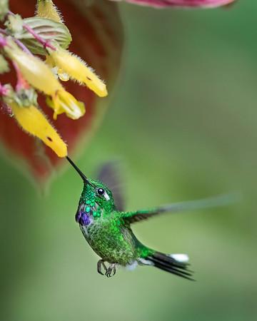 Purple-bibbed Whitetip Hummingbird from Ecuador
