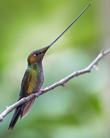 Sword-billed Humningbird from Ecuador