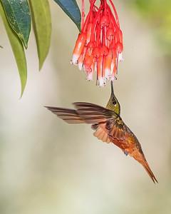 Chestnut-breasted Hummingbird from Ecuador