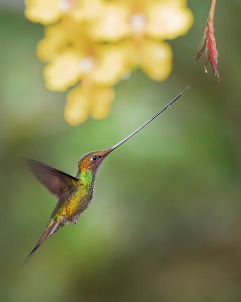 Sword-billed Hummingbird from Ecuador