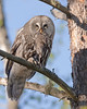"""This photograph of a Great Grey Owl with prey was captured in the Oulu area of Finland (6/15). <FONT COLOR=""""RED""""><h5>This photograph is protected by International and U.S. Copyright Laws and shall not to be downloaded or reproduced by any means without the formal written permission of Ken Conger Photography.<FONT COLOR=""""RED""""></h5>"""