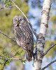"""This photograph of a Great Grey Owl was captured in the Oulu area of Finland (6/15). <FONT COLOR=""""RED""""><h5>This photograph is protected by International and U.S. Copyright Laws and shall not to be downloaded or reproduced by any means without the formal written permission of Ken Conger Photography.<FONT COLOR=""""RED""""></h5>"""