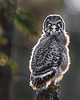 """This photograph of a Great Grey Owl chick was captured in the Oulu area of Finland (6/15). <FONT COLOR=""""RED""""><h5>This photograph is protected by International and U.S. Copyright Laws and shall not to be downloaded or reproduced by any means without the formal written permission of Ken Conger Photography.<FONT COLOR=""""RED""""></h5>"""