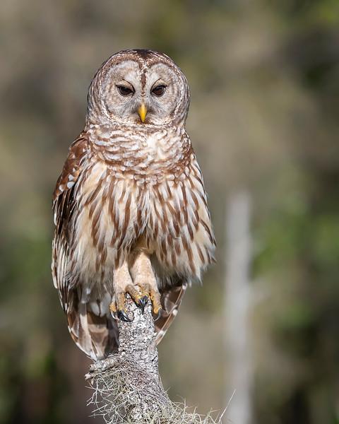 Myakka State Park Barred Owl