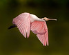 "This photograph of a  Roseatte Spoonbill was captured on Ding Darling National Wildlife Refuge, Florida (7/15). <font color=""RED""><h5>This photograph is protected by International and U.S. Copyright Laws and shall not to be downloaded or reproduced by any means without the formal written permission of Ken Conger Photography.<font color=""RED""></font></h5></font>"