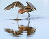 "This photograph of a Reddish Egret was captured on Ding Darling National Wildlife Refuge, Florida (7/15). <font color=""RED""><h5>This photograph is protected by International and U.S. Copyright Laws and shall not to be downloaded or reproduced by any means without the formal written permission of Ken Conger Photography.<font color=""RED""></font></h5></font>"