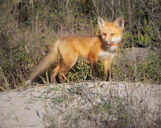 Fort Monroe Virginia Red Fox